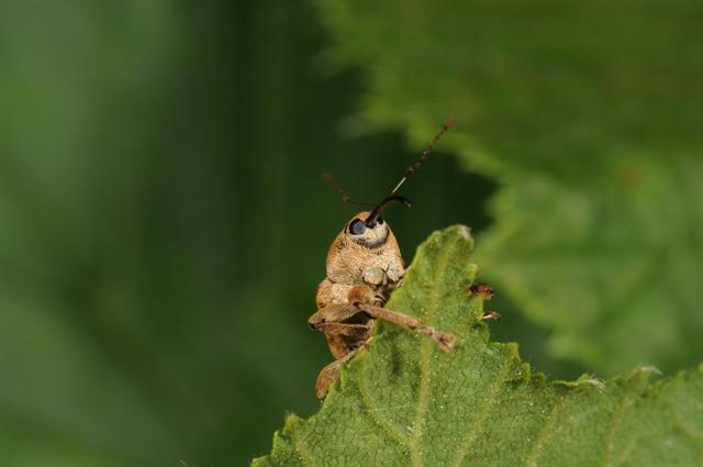 Curculio venosus photo