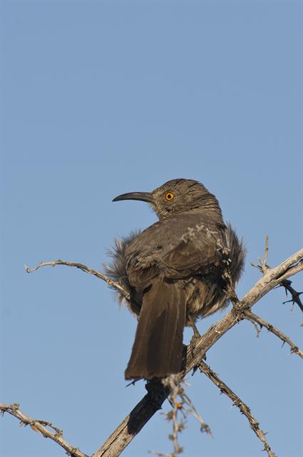 Curve-billed thrasher (Toxostoma curvirostre) photo