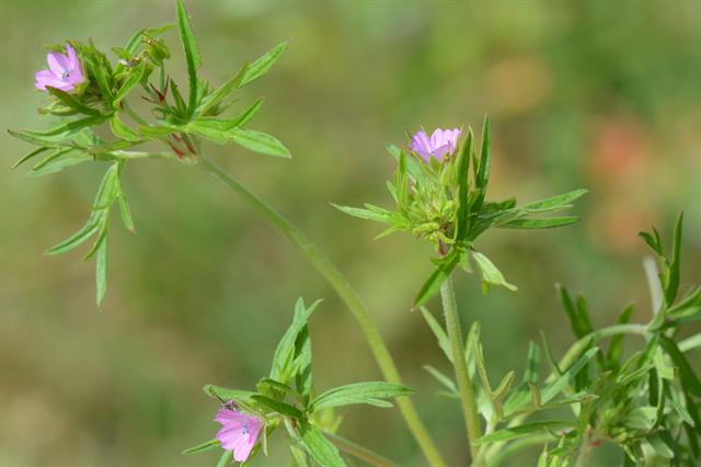 Cut-Leaved Crane´S-Bill (Geranium dissectum) photo