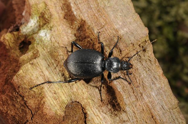 Cychrus caraboides photo