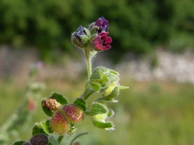 Hound´s-tongue (Cynoglossum officinale)
