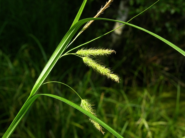 Cyperus Sedge (Carex pseudocyperus) photo