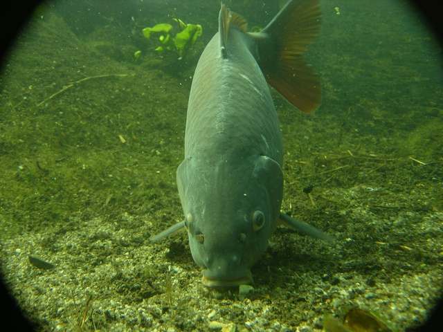 Common carp (Cyprinus carpio)