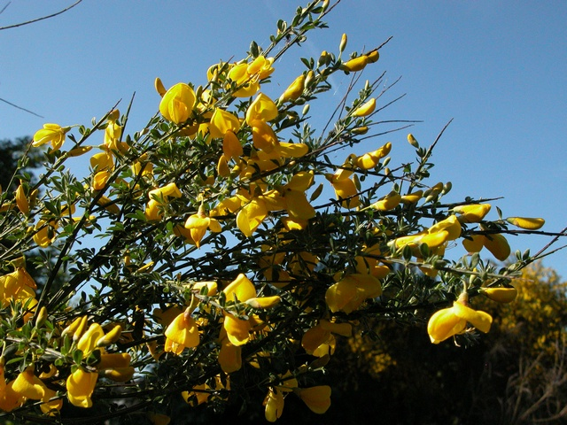 Broom (Cytisus scoparius ssp. scoparius)