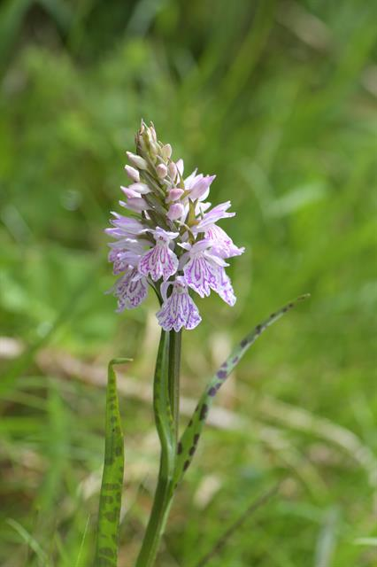 Heath Spotted-Orchid (Dactylorhiza maculata)