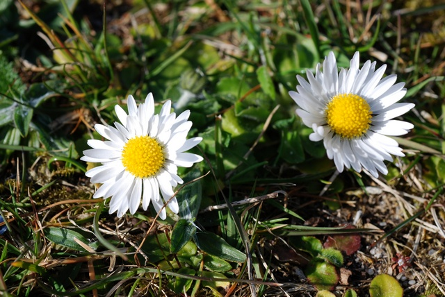 Daisy (Bellis perennis) photo