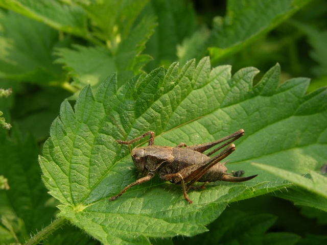Dark Bush-cricket (Pholidoptera griseoaptera) photo