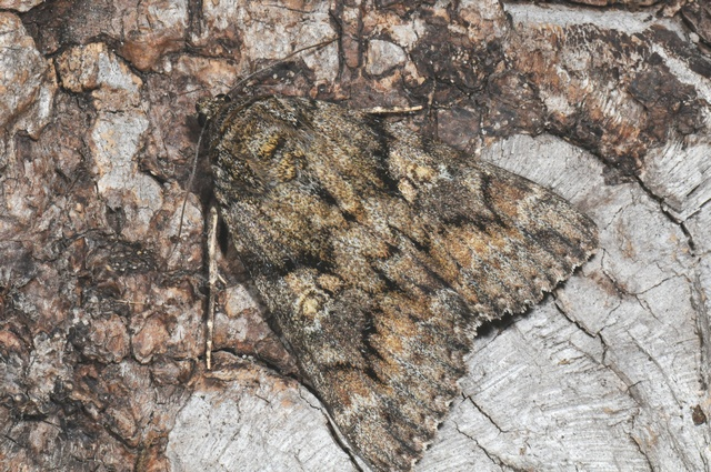 Dark Crimson Underwing (Catocala sponsa) photo