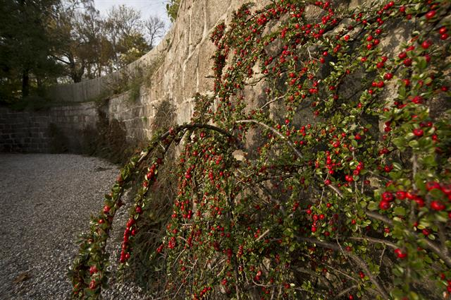 Decne. Wall Cotoneaster (Cotoneaster horizontalis) photo