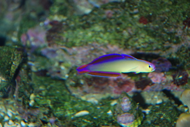 Decorated dartfish (Nemateleotris decora) photo