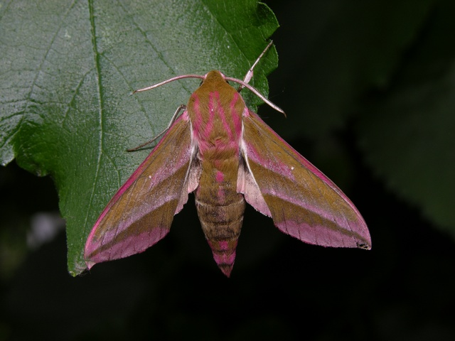 Elephant Hawk-moth (Deilephila elpenor)
