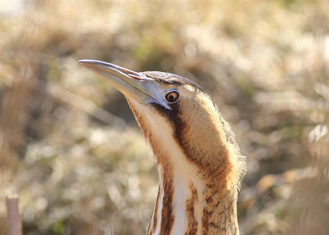 Great Bittern (Botaurus stellaris)