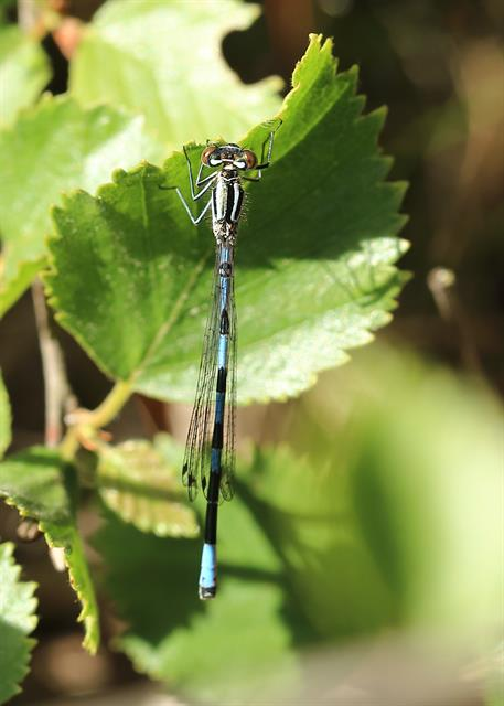 Coenagrion hastulatum photo