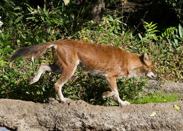 Dhole (Cuon alpinus) photo