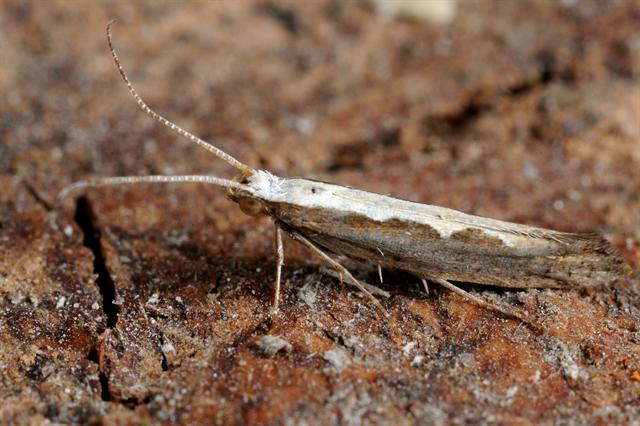 Diamond-back Moth (Plutella xylostella) photo