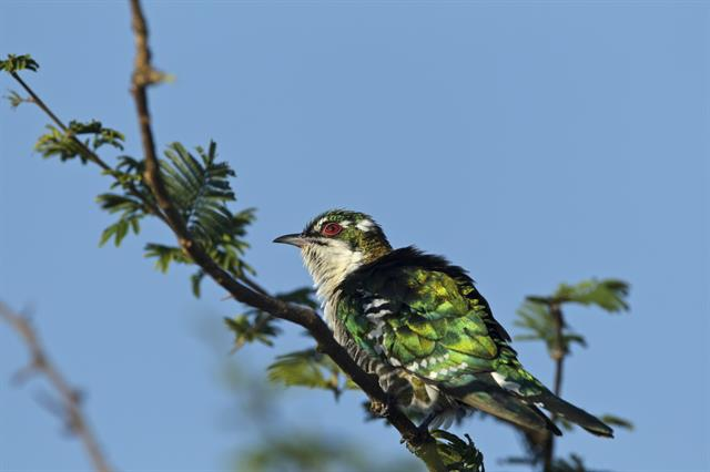 Dideric Cuckoo (Chrysococcyx caprius) photo