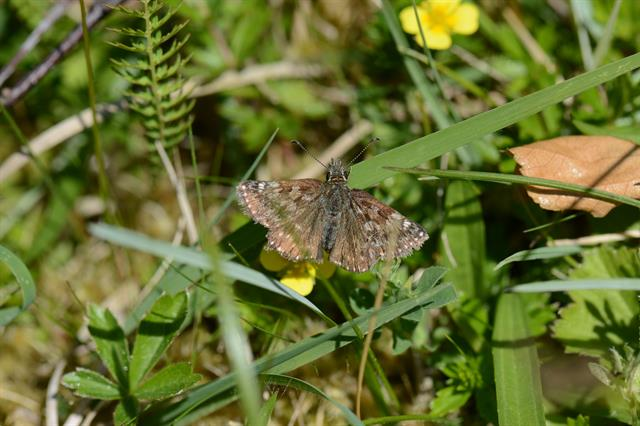 Dingy Skipper (Erynnis tages) photo