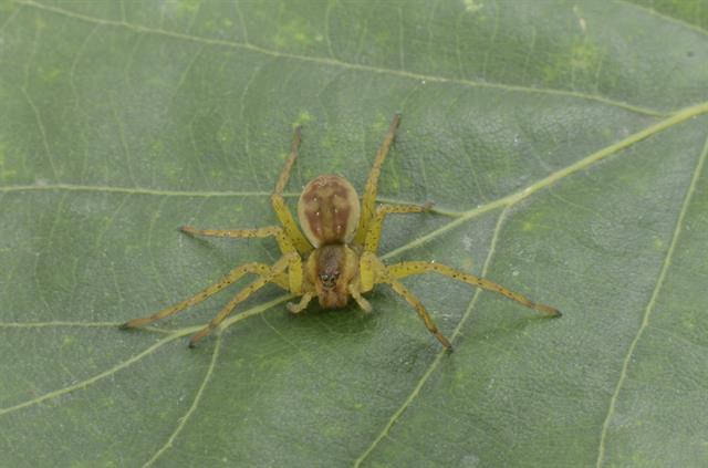 Dolomedes sp. photo