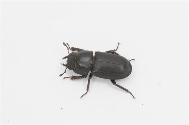 Lesser Stag Beetle (Dorcus parallelipipedus)