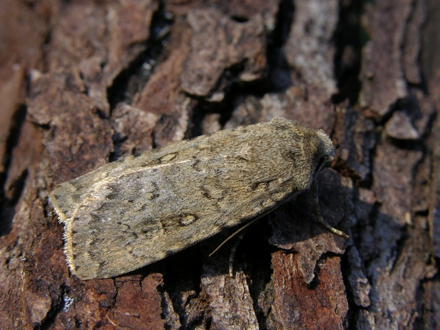 Dotted Rustic (Rhyacia simulans) photo