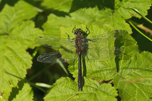 Downy Emerald (Cordulia aenea) photo