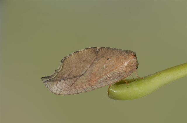 Drepanepteryx phalaenoides photo