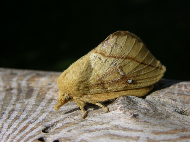 Drinker (Euthrix potatoria) photo