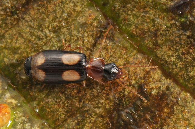 Dromius quadrimaculatus photo