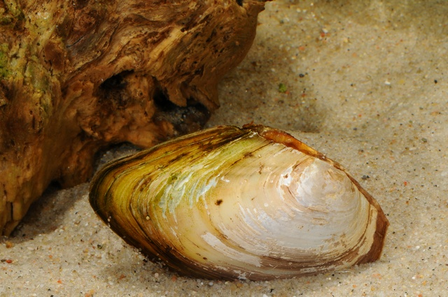 Duck mussel (Anodonta anatina) photo