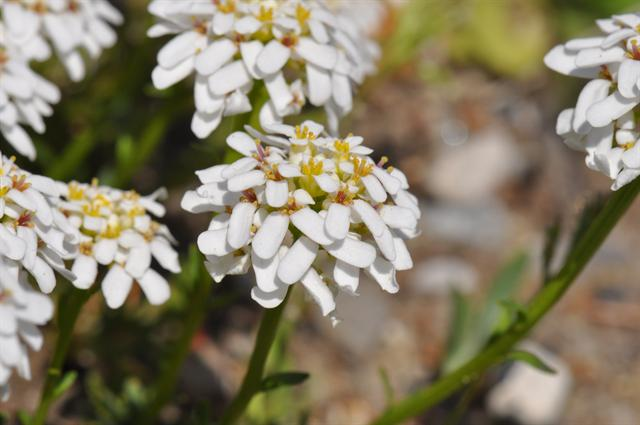 Dwarf Candytuft (Iberis sayana) photo