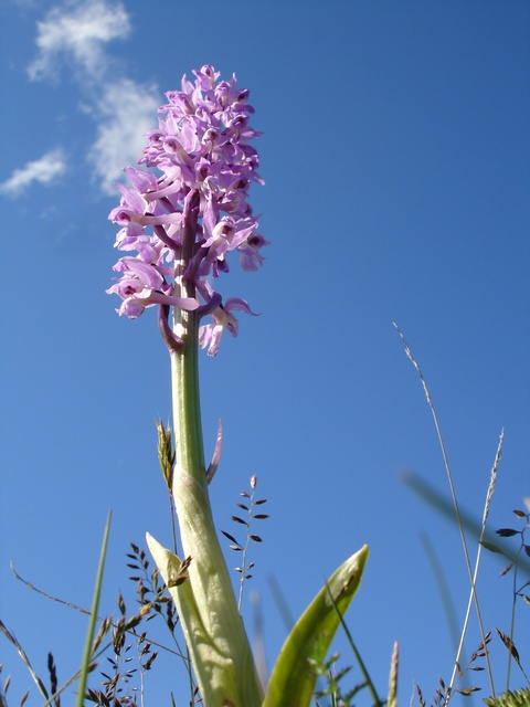 Early Purple Orchid (Orchis mascula) photo