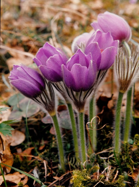 Eastern Pasque Flower (Pulsatilla patens) photo