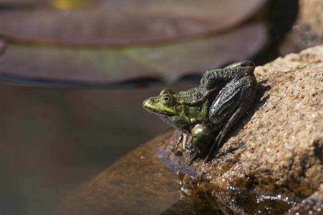 Edible frog (Rana esculenta) photo