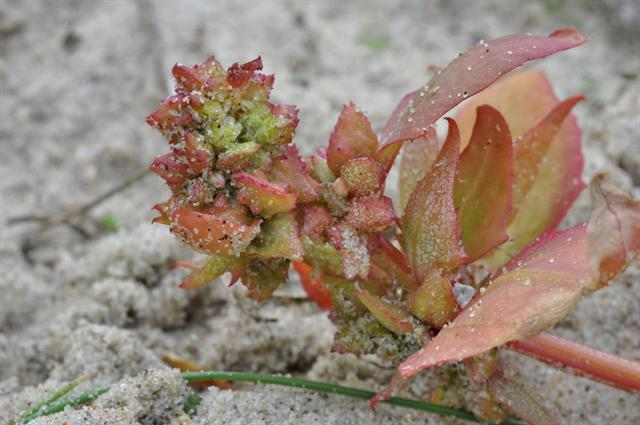 Edmondston Babington´S Orache (Atriplex glabriuscula) photo
