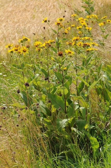 Elacampane (Inula helenium) photo