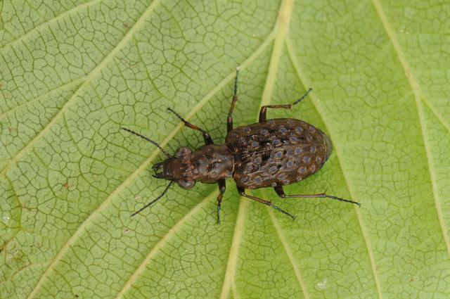 Elaphrus cupreus photo