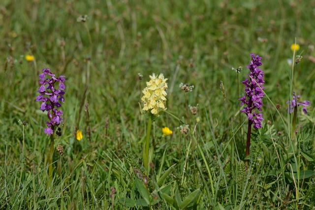 Elder-flowered Orchid (Dactylorhiza sambucina) photo