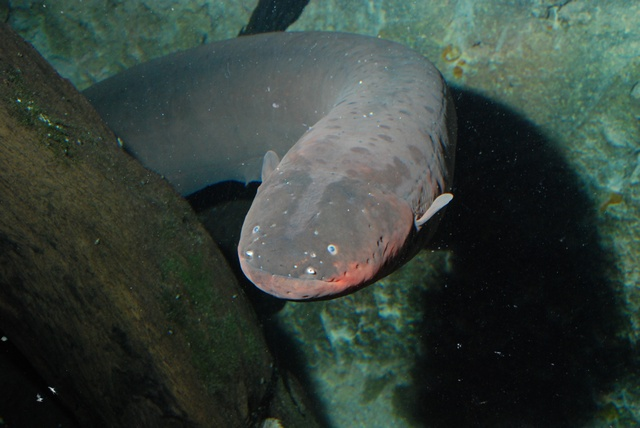 Electric eel (Electrophorus electricus) photo