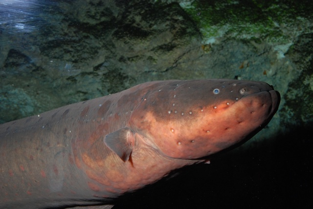 Electric eel (Electrophorus electricus)