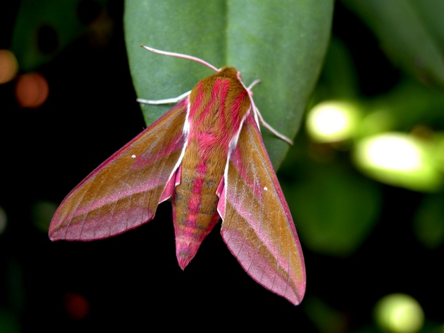 Elephant Hawk-moth (Deilephila elpenor) photo
