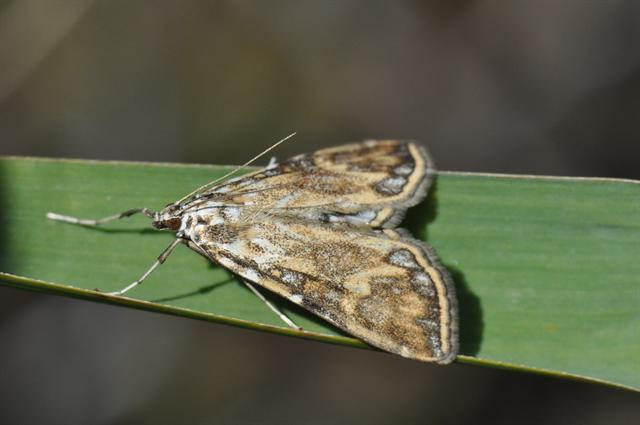 Brown China-mark (Elophila nymphaeata)