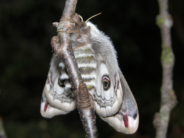 Emperor Moth (Saturnia pavonia) photo