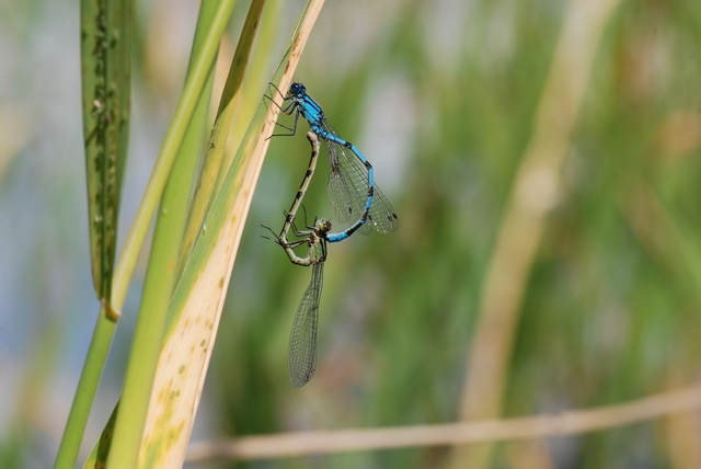 Enallagma cyathigerum