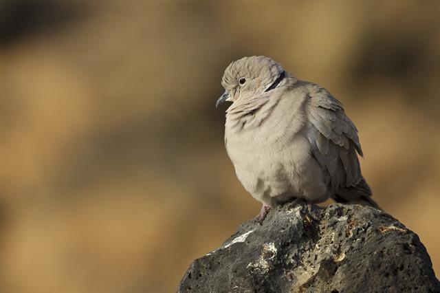 Eurasian Collared Dove (Streptopelia decaocto) photo