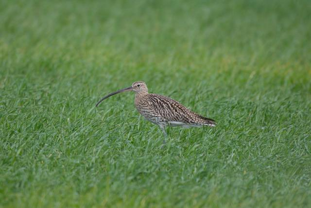Eurasian Curlew (Numenius arquata) photo