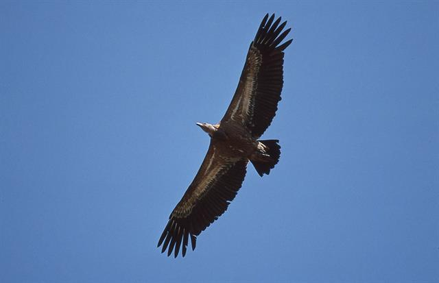 Eurasian Griffon Vulture (Gyps fulvus) photo