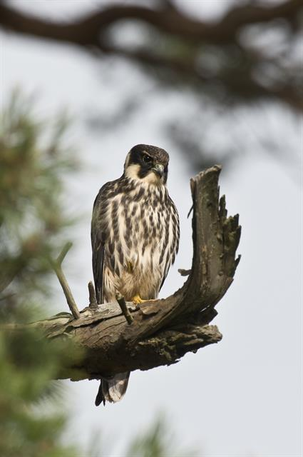 Eurasian Hobby (Falco subbuteo) photo