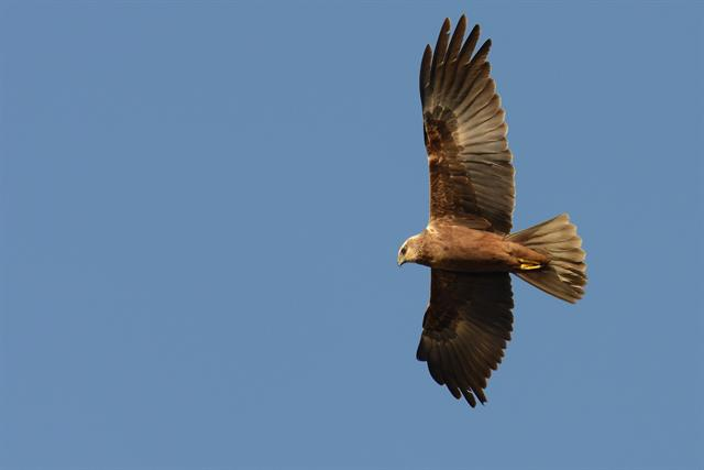 Eurasian Marsh Harrier (Circus aeruginosus) photo