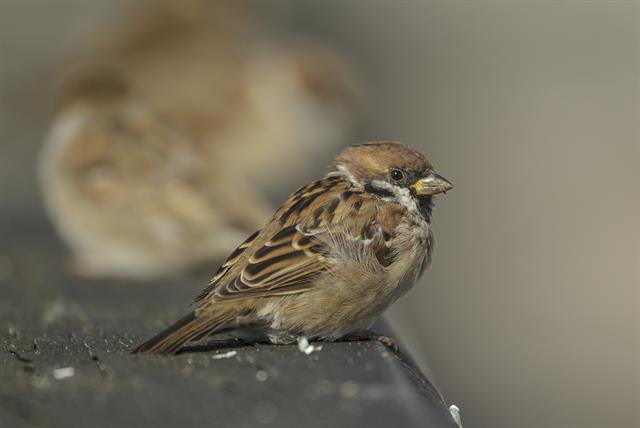 Eurasian Tree Sparrow (Passer montanus) photo