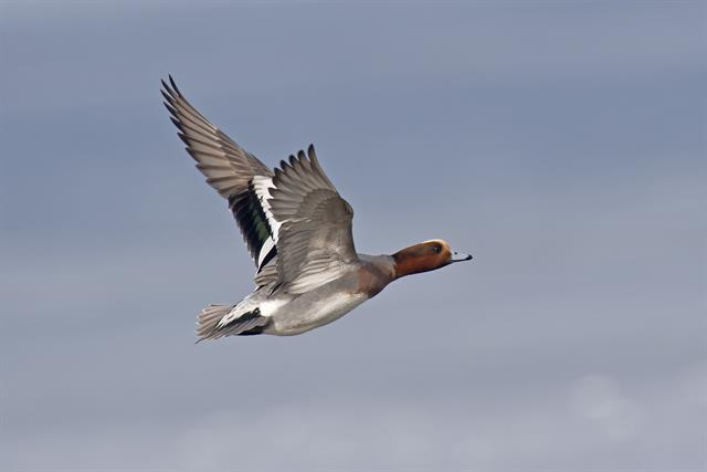 Eurasian Wigeon (Anas penelope) photo